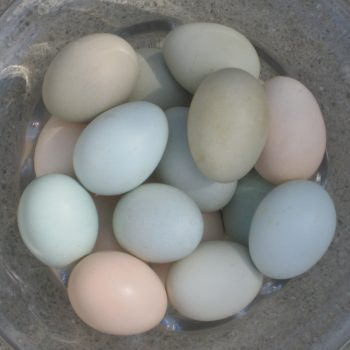 Blue and Green eggs from the Hollywood Farmers Market
