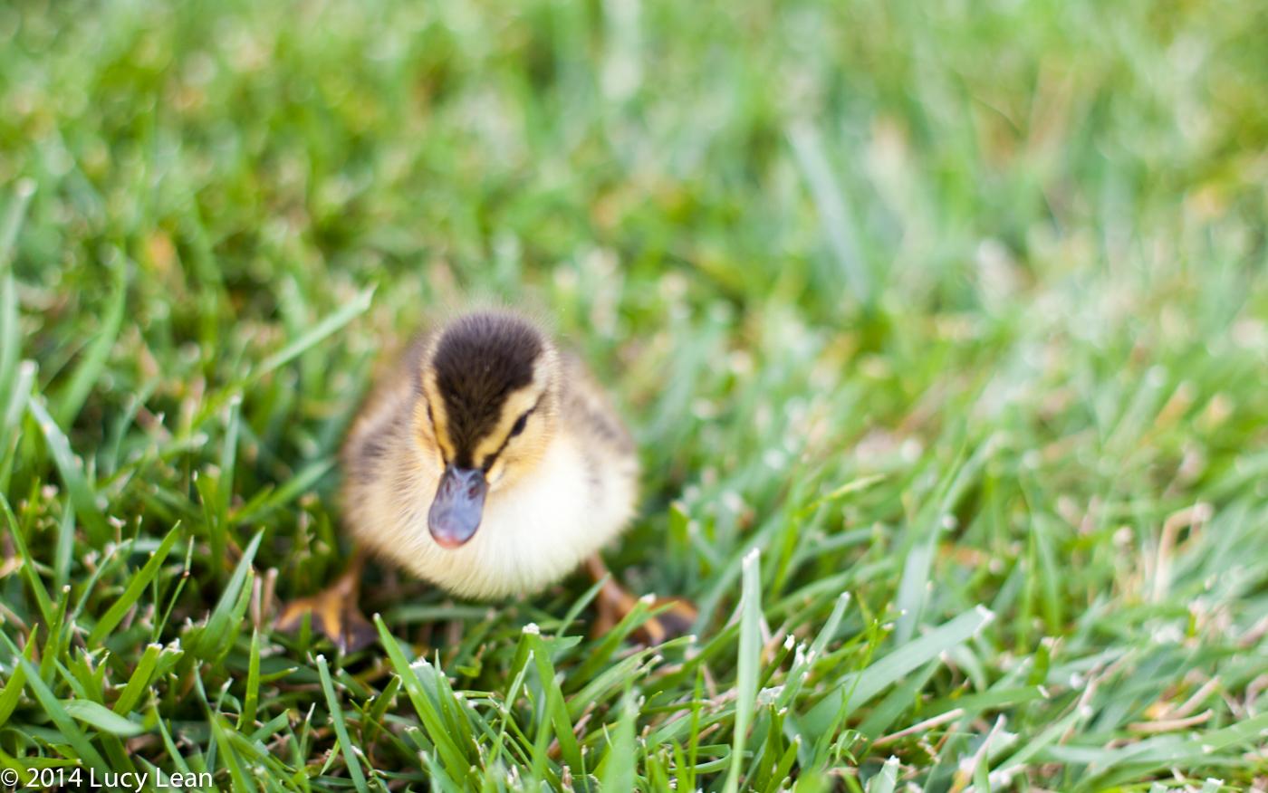 Duck Duck Goose – Scrambled Eggs